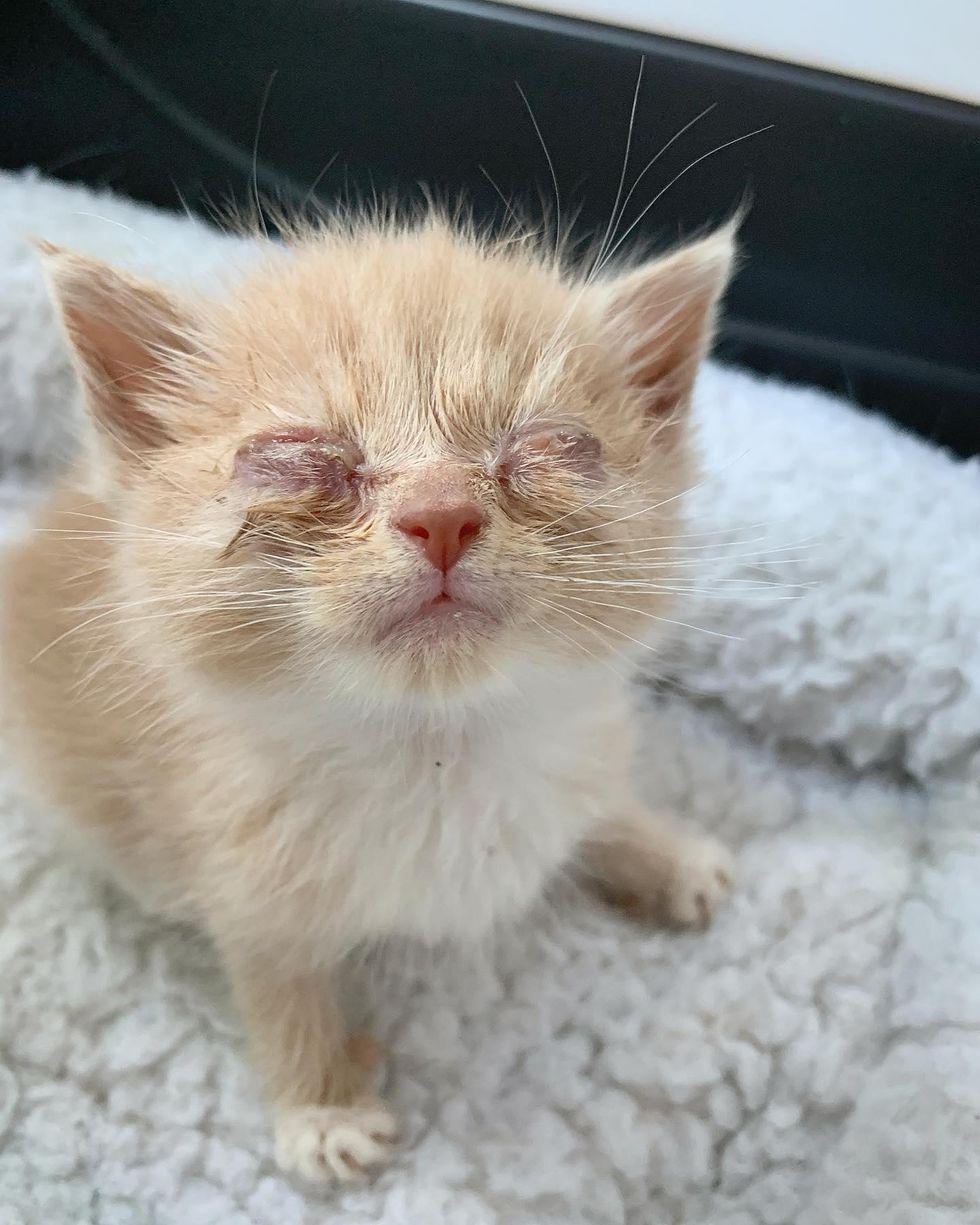 eye infection kitten
