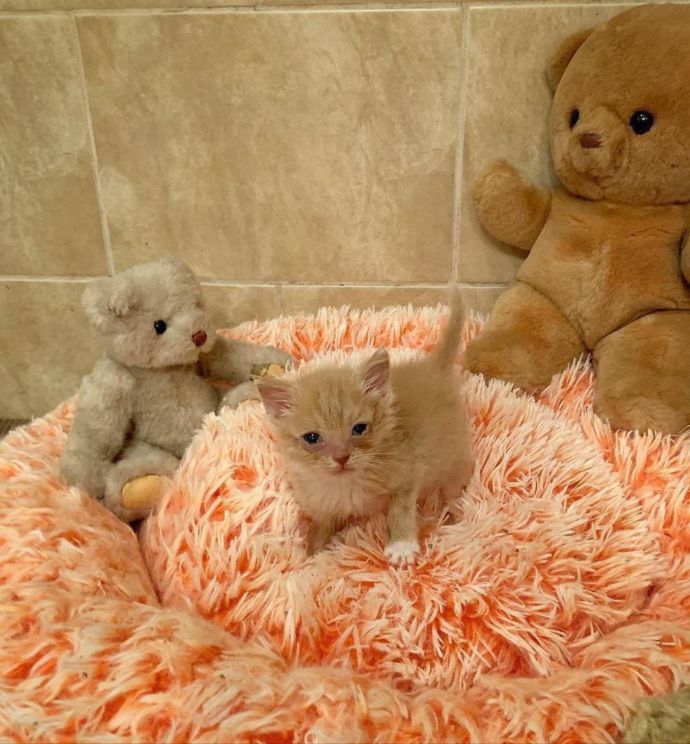 foster kitten meep