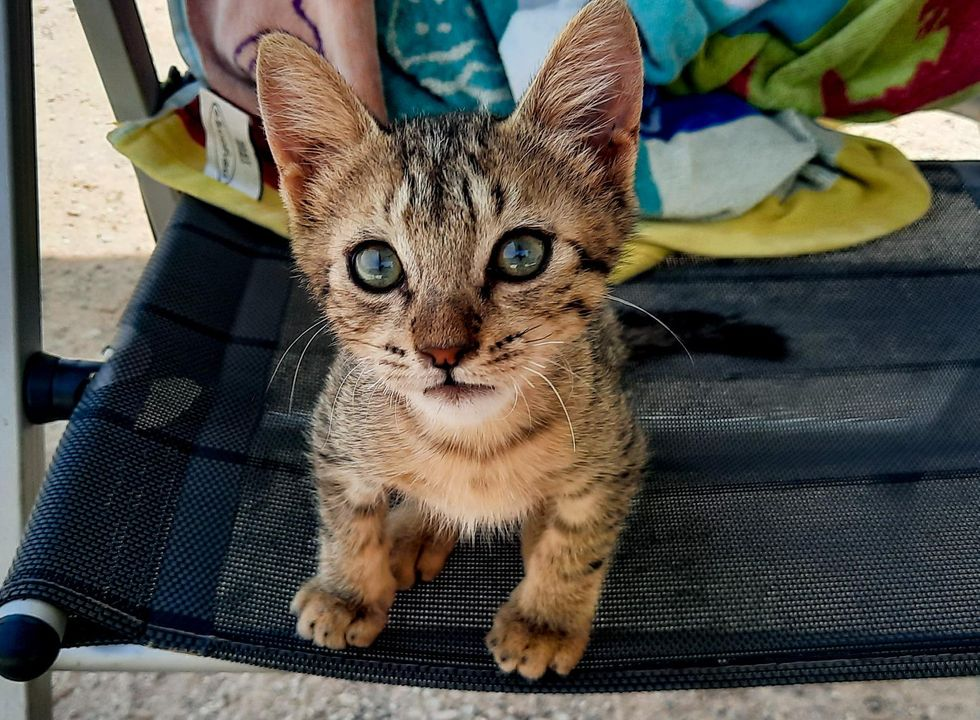 stray kitten tabby