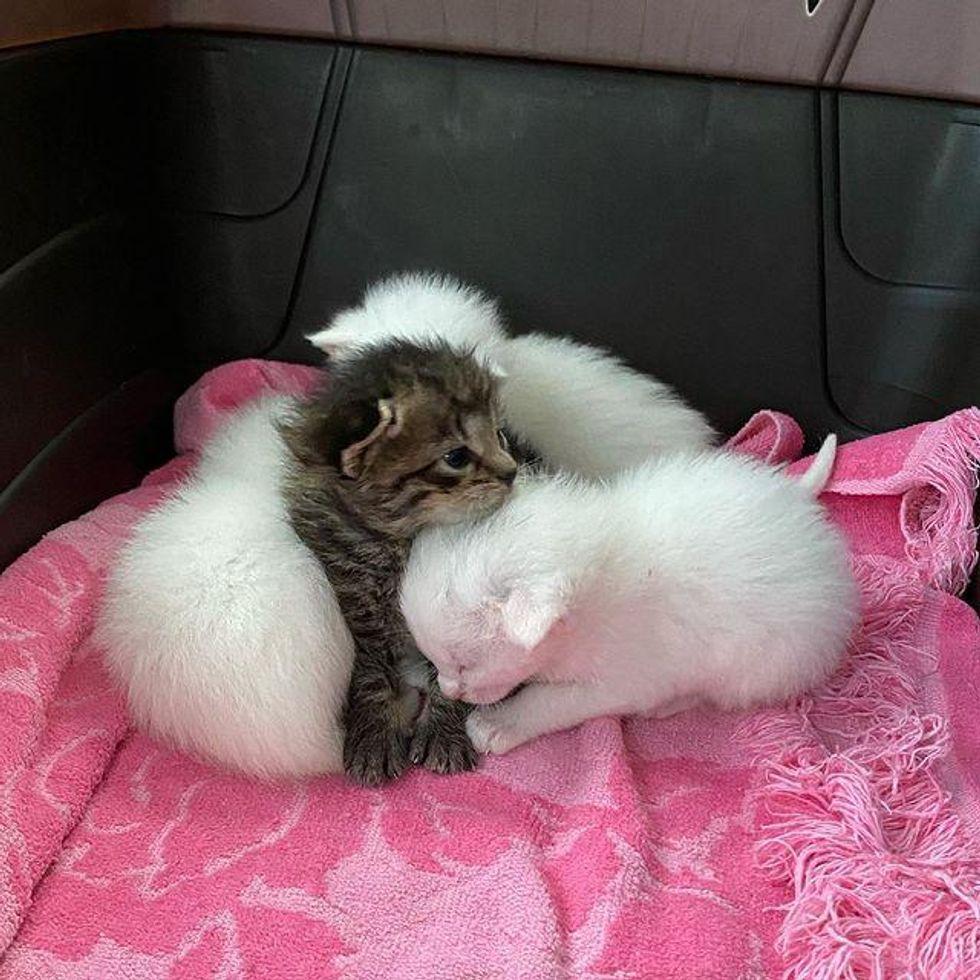 cuddly kitten littermates