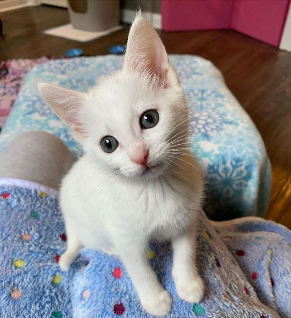lap white kitten