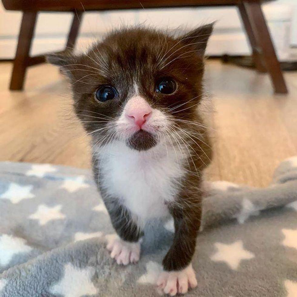 dapper tuxedo kitten
