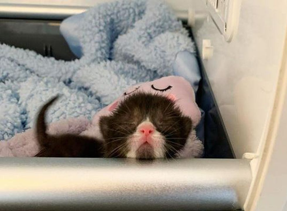 tuxedo kitten incubator