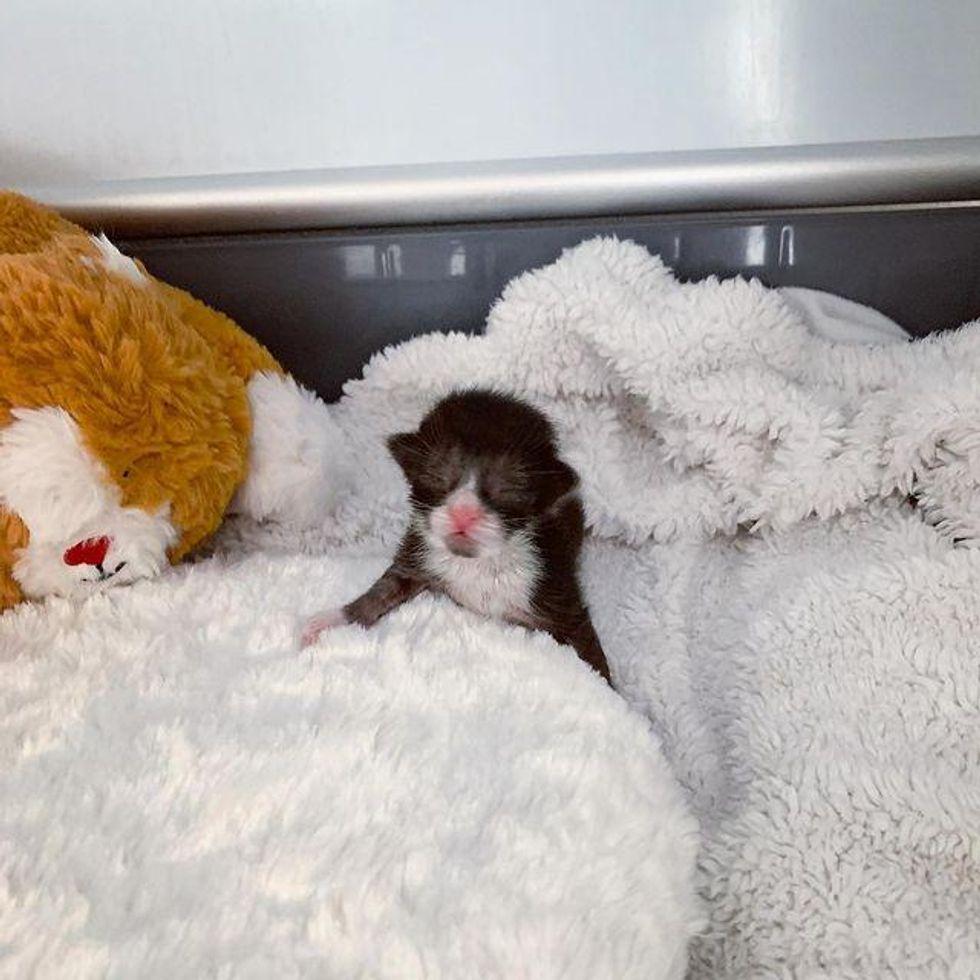 tuxedo baby kitten