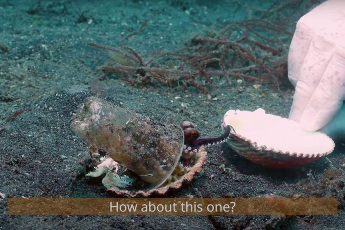 Kind scuba divers try to convince a tiny octopus to trade its plastic cup for a shell