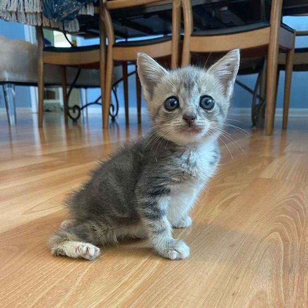manx cat kitten