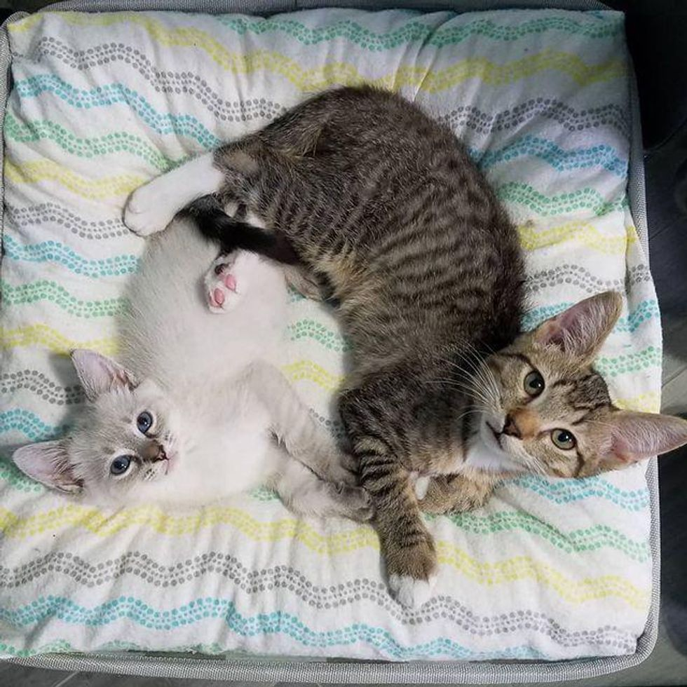 bonded kittens