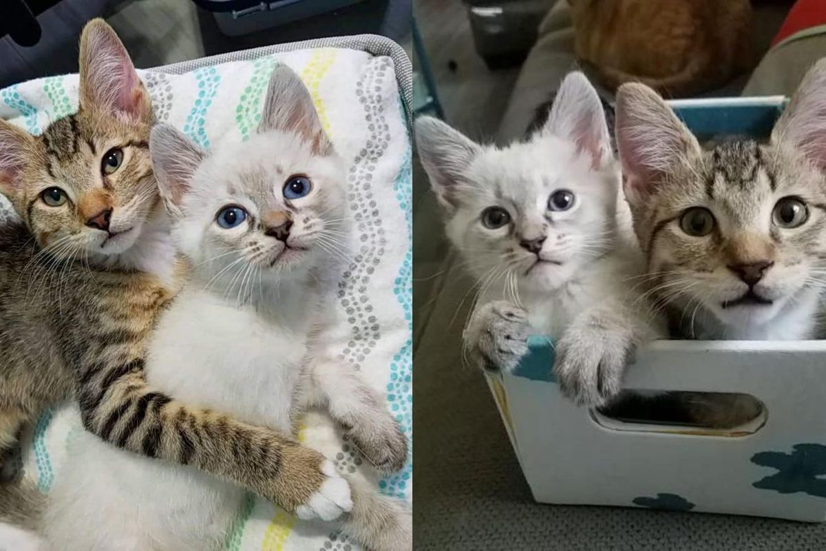 2 Rescue Kittens Hit It Off and Form Cutest Bromance - Their Journey to Forever Home