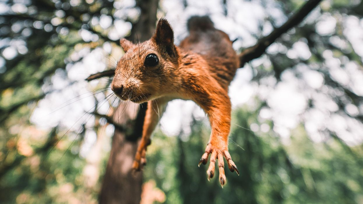 Squirrel parkour: How leaping squirrels could inspire more nimble robots