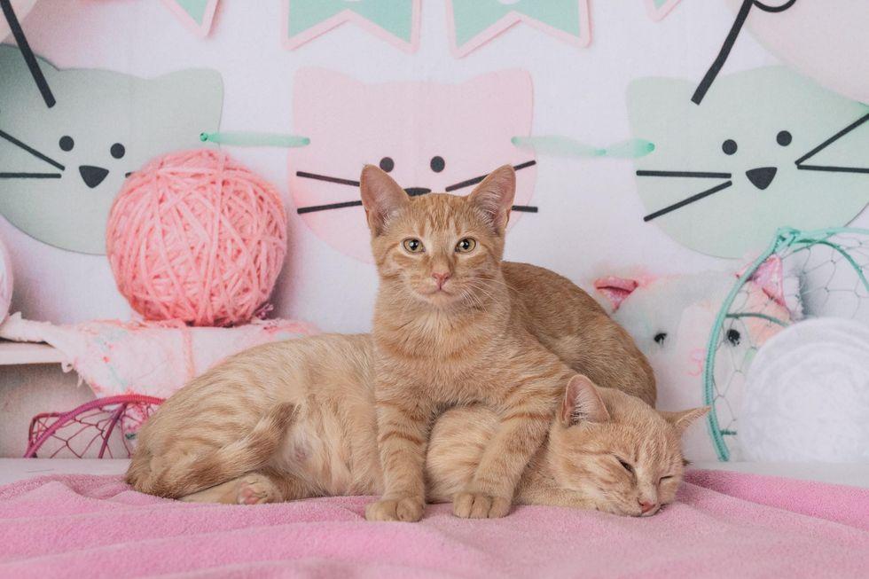 sweet orange cats