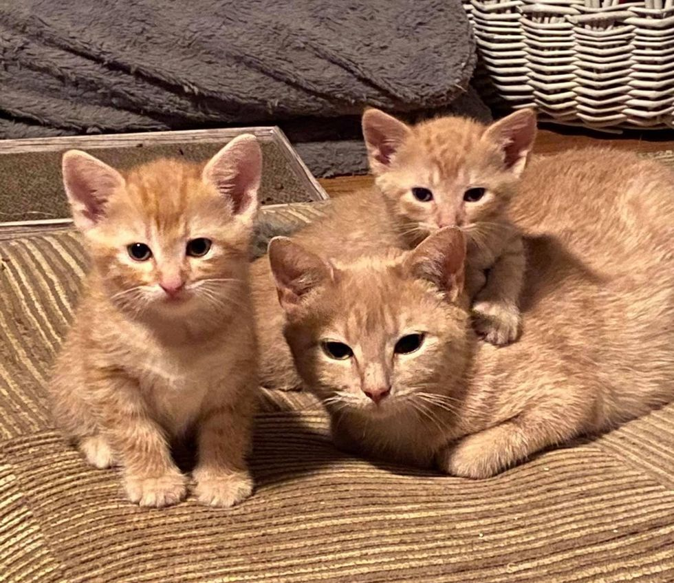 orange cat and kittens