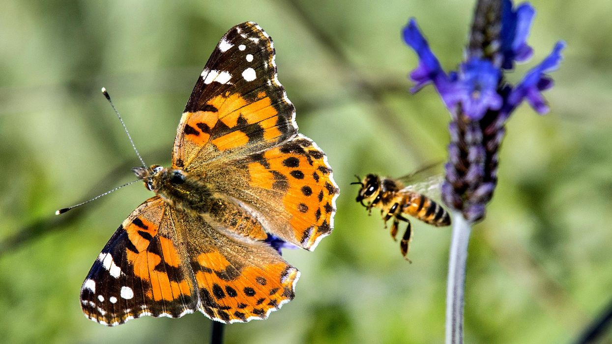 Swarms of butterflies migrate through Southern California