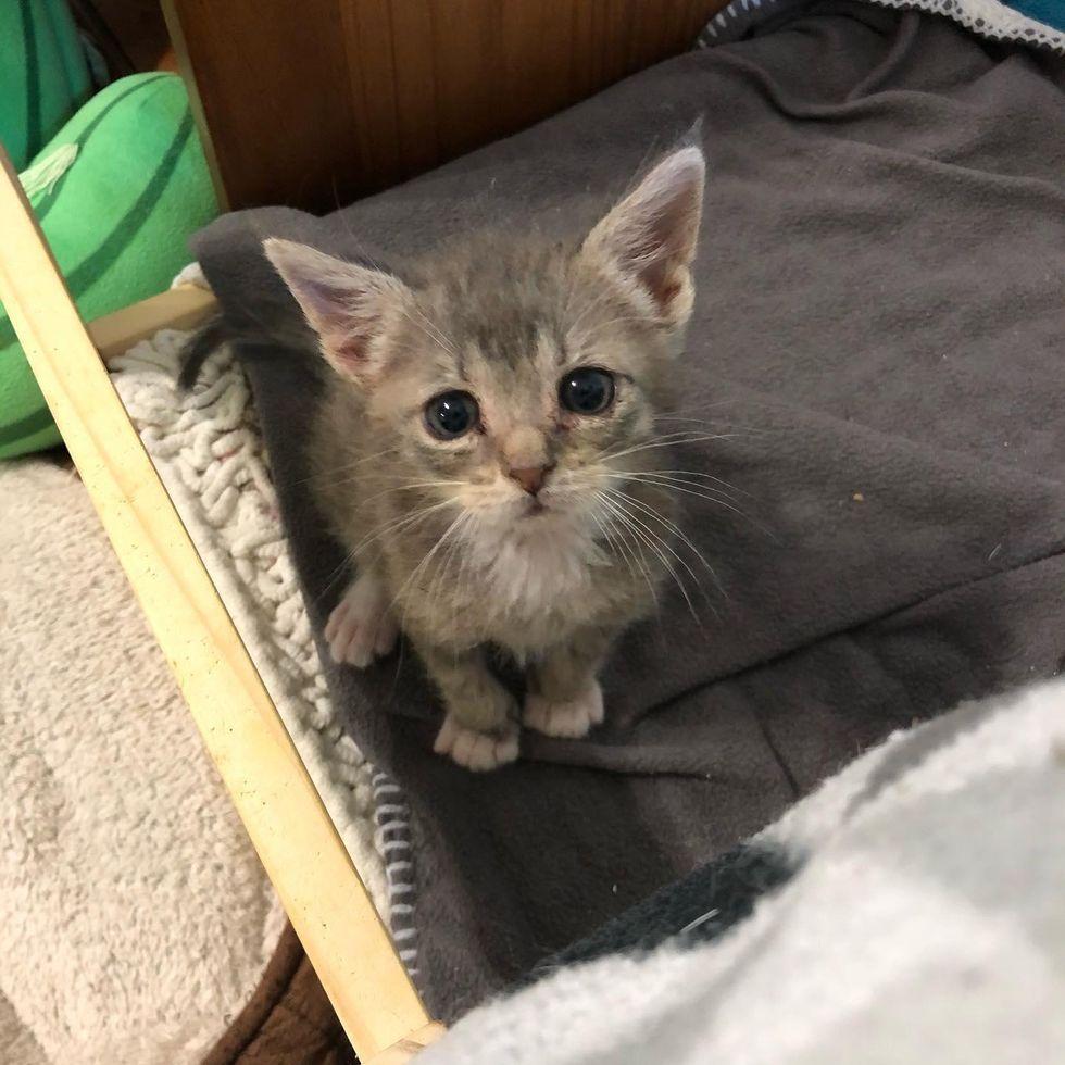 kitten with big ears