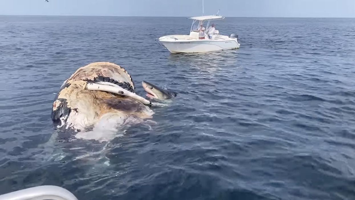 White sharks eating a whale carcass.