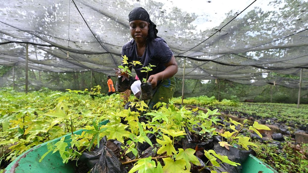 A woman prepares cuttings for reforestation.