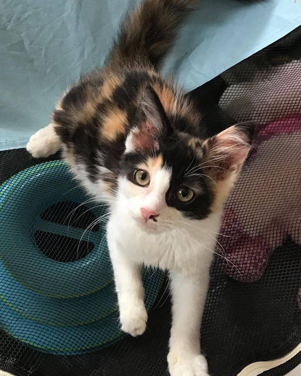 calico kitten sweet