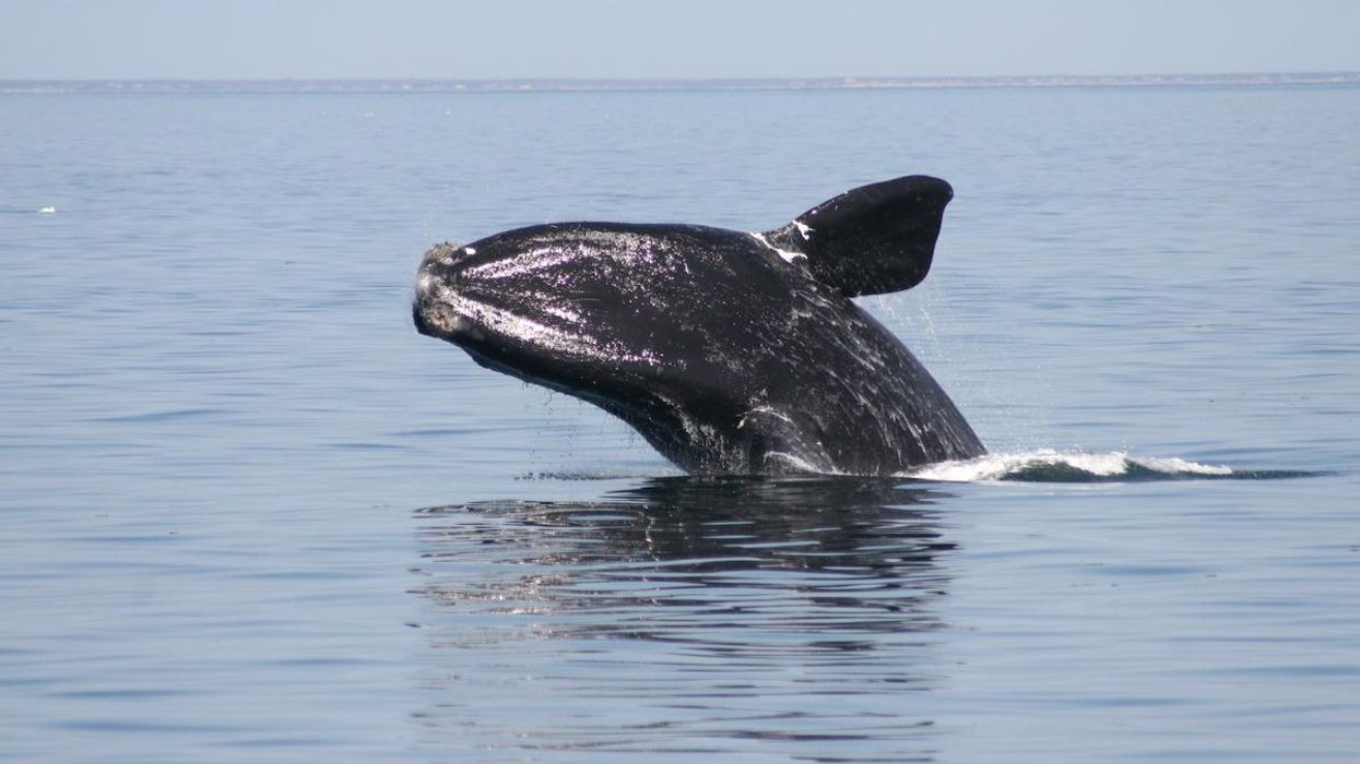 A North Atlantic right whale breaching.