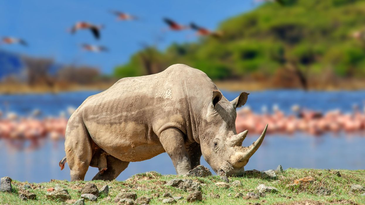 Rhino mystery going back to Darwin solved