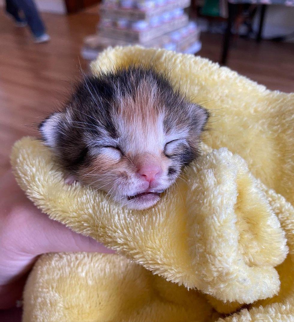 calico kitten purrito