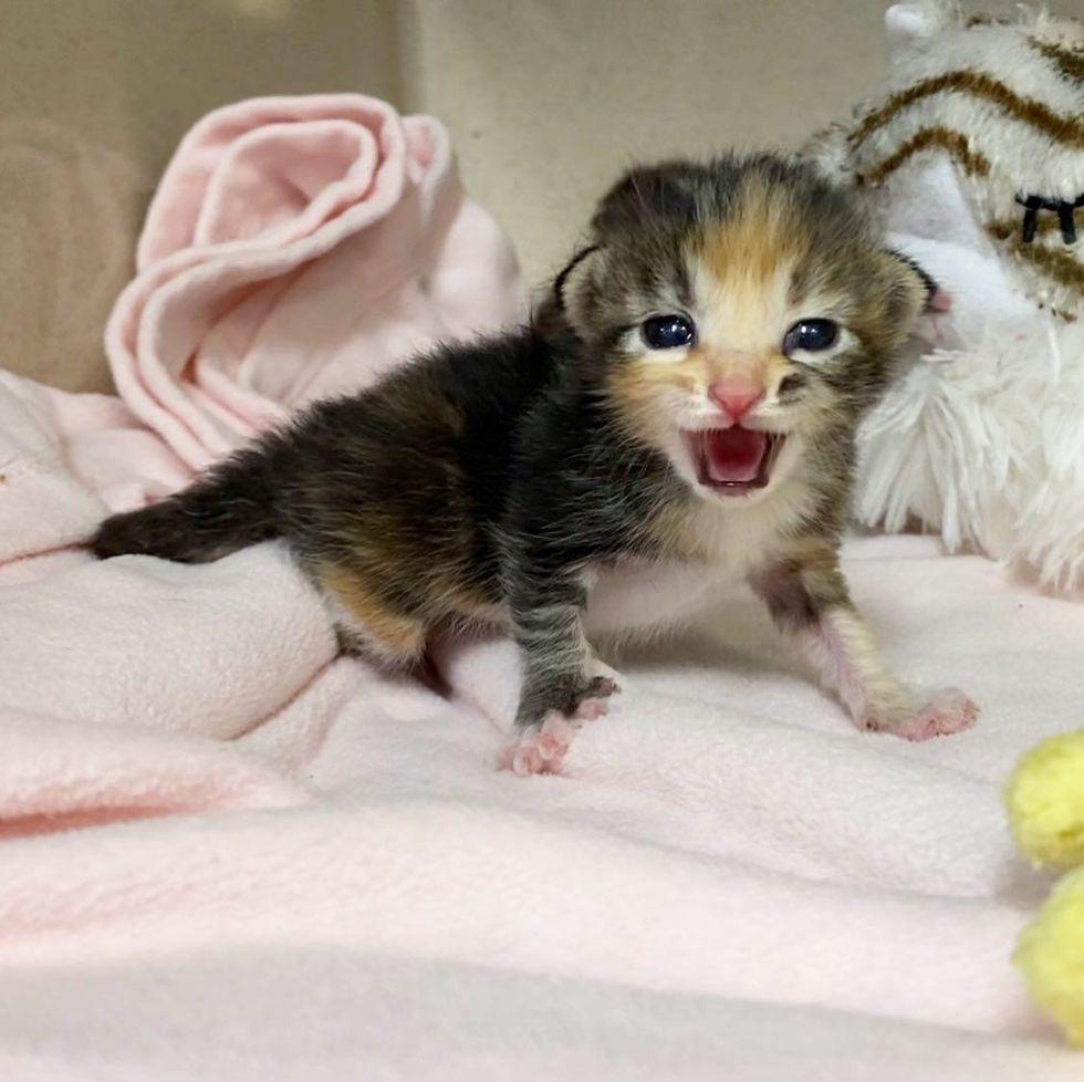 demanding calico kitten