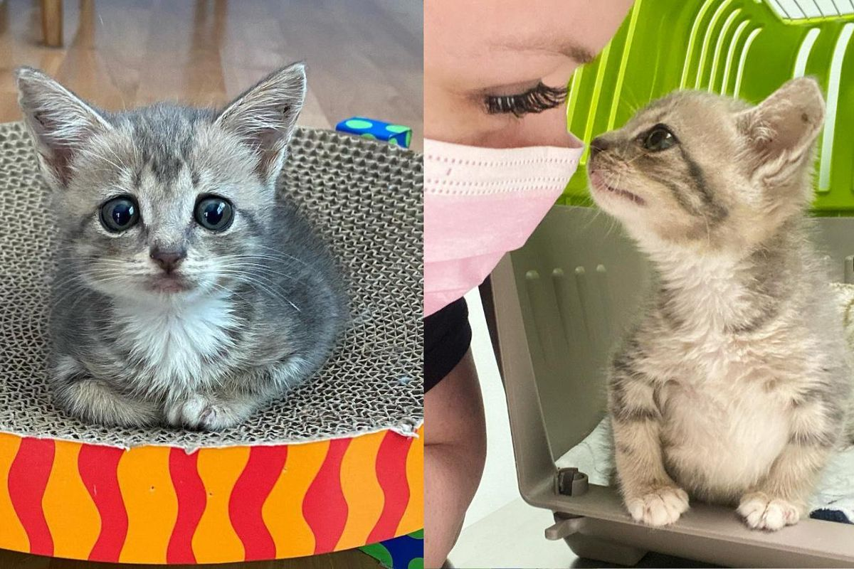 Kitten Determined to Walk and Lead a Happy Life After Being Brought in as a Stray