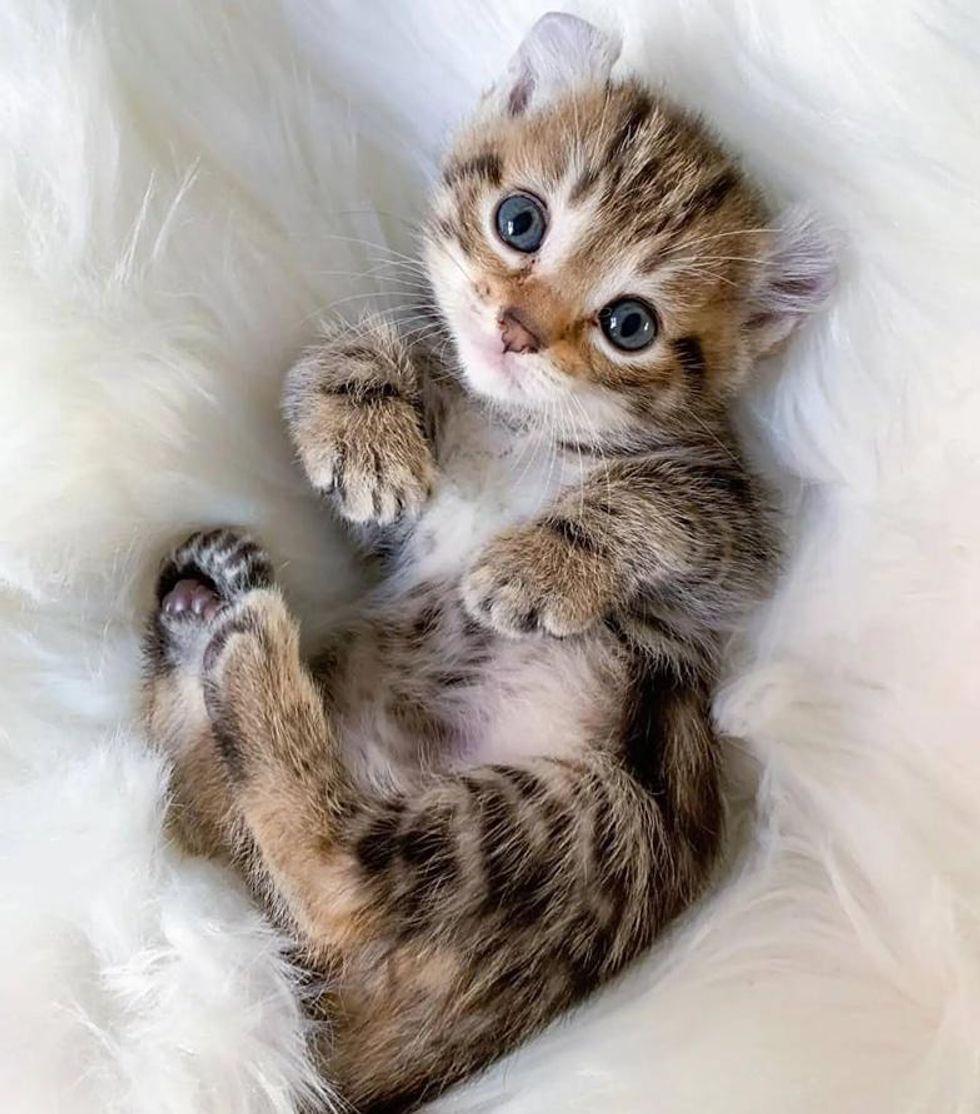 kitten curled ears