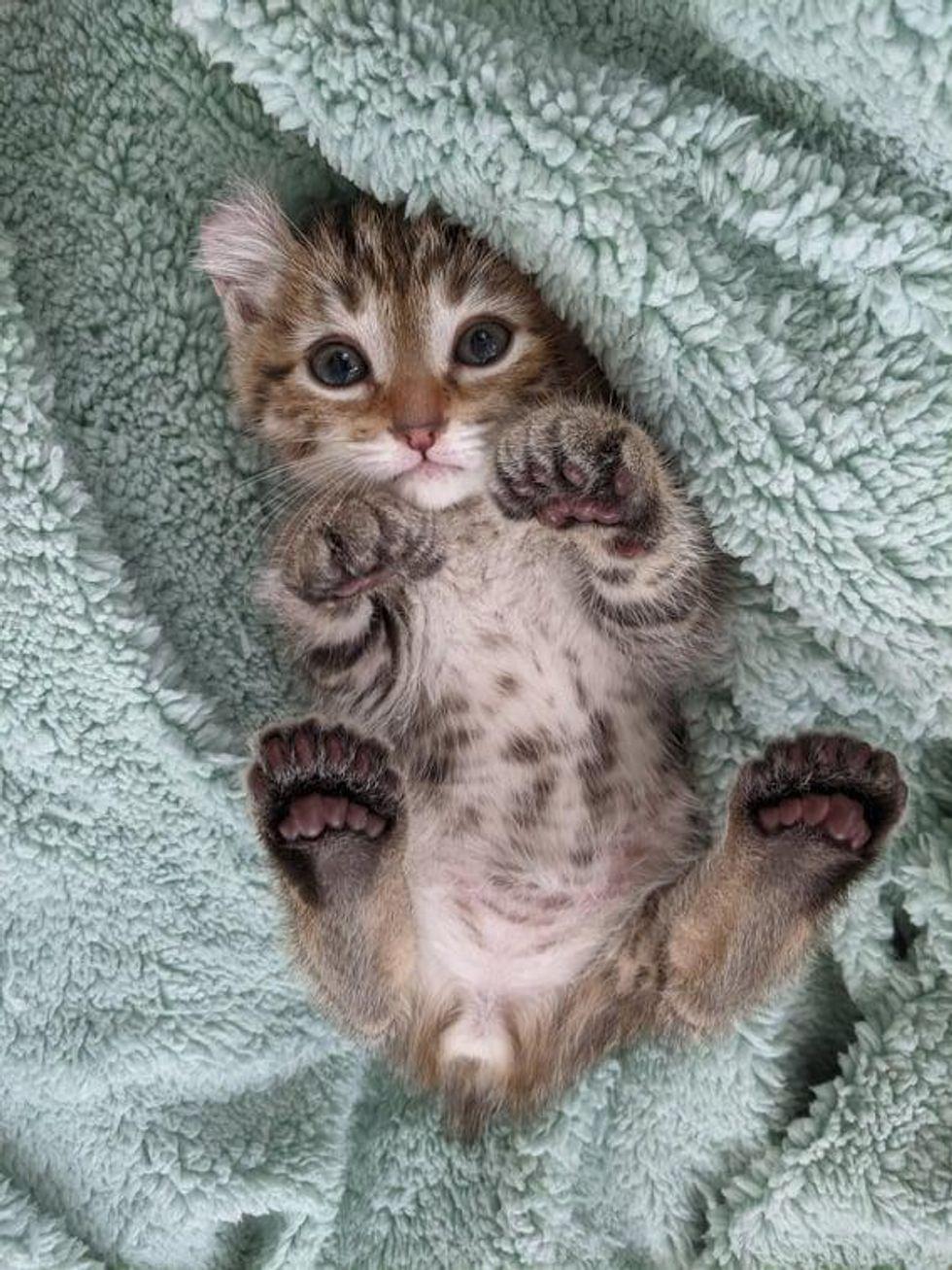 polydactyl kitten, curled ears
