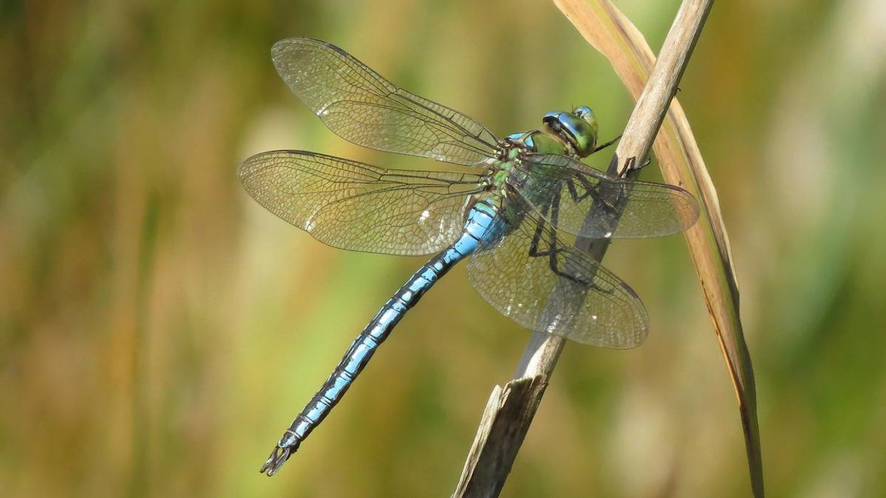An emperor dragonfly in the UK.