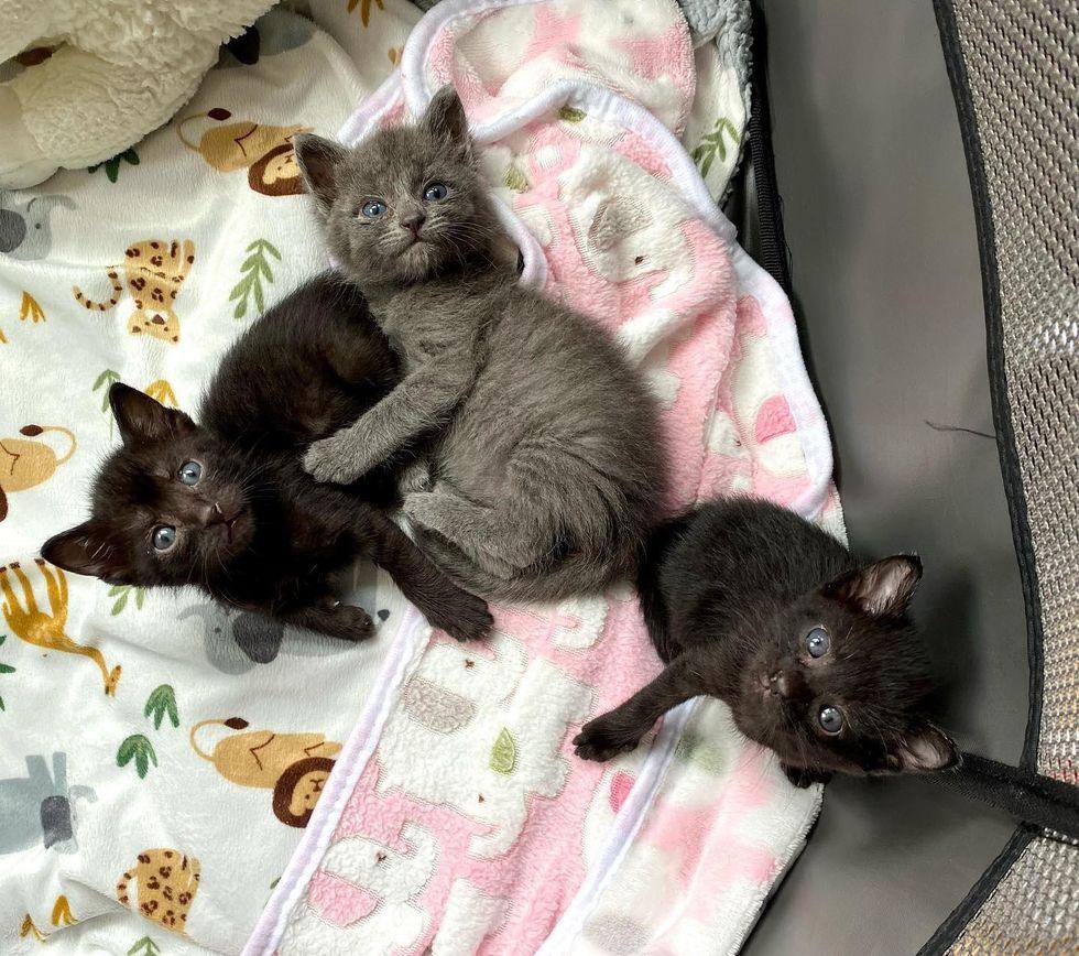 black grey kittens