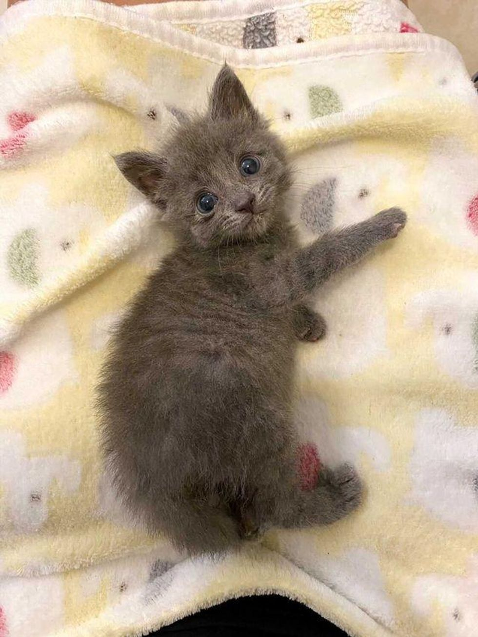 tiny grey kitten