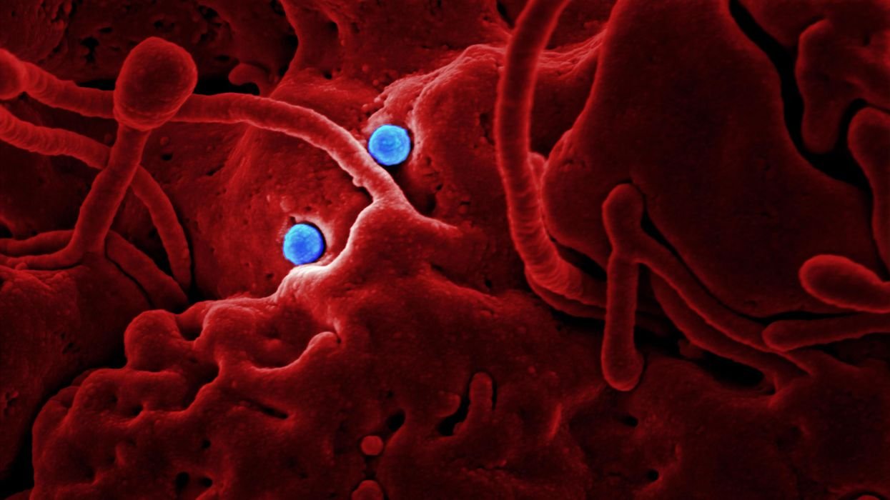 What happens when two different respiratory viruses infect the same cell?