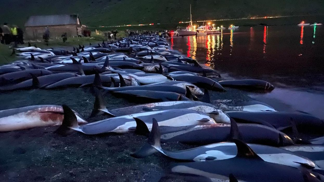 Massacre of 1,428 Faroe Islands Dolphins Sparks Outrage From Activists and Locals