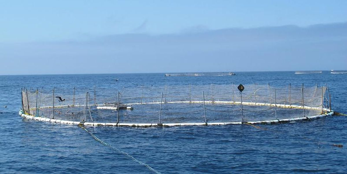 The aquaculture industry needs a heat-loving salmon