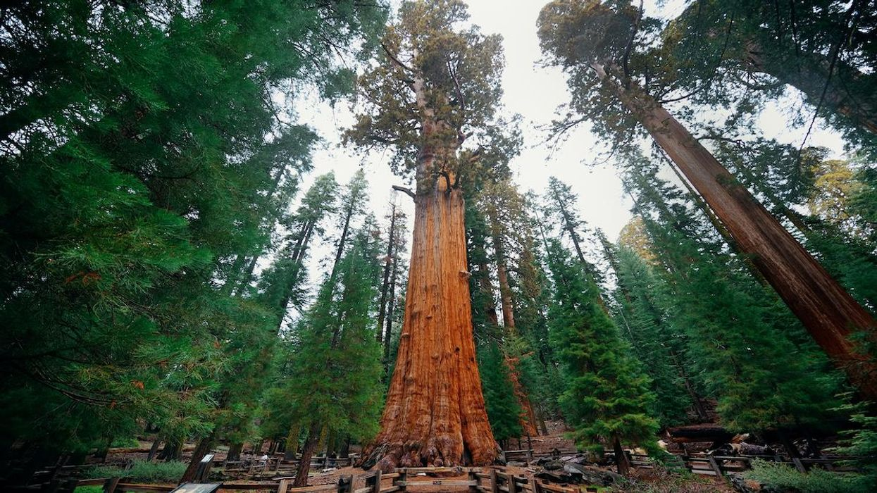 The General Sherman Tree in Sequoia National Park.