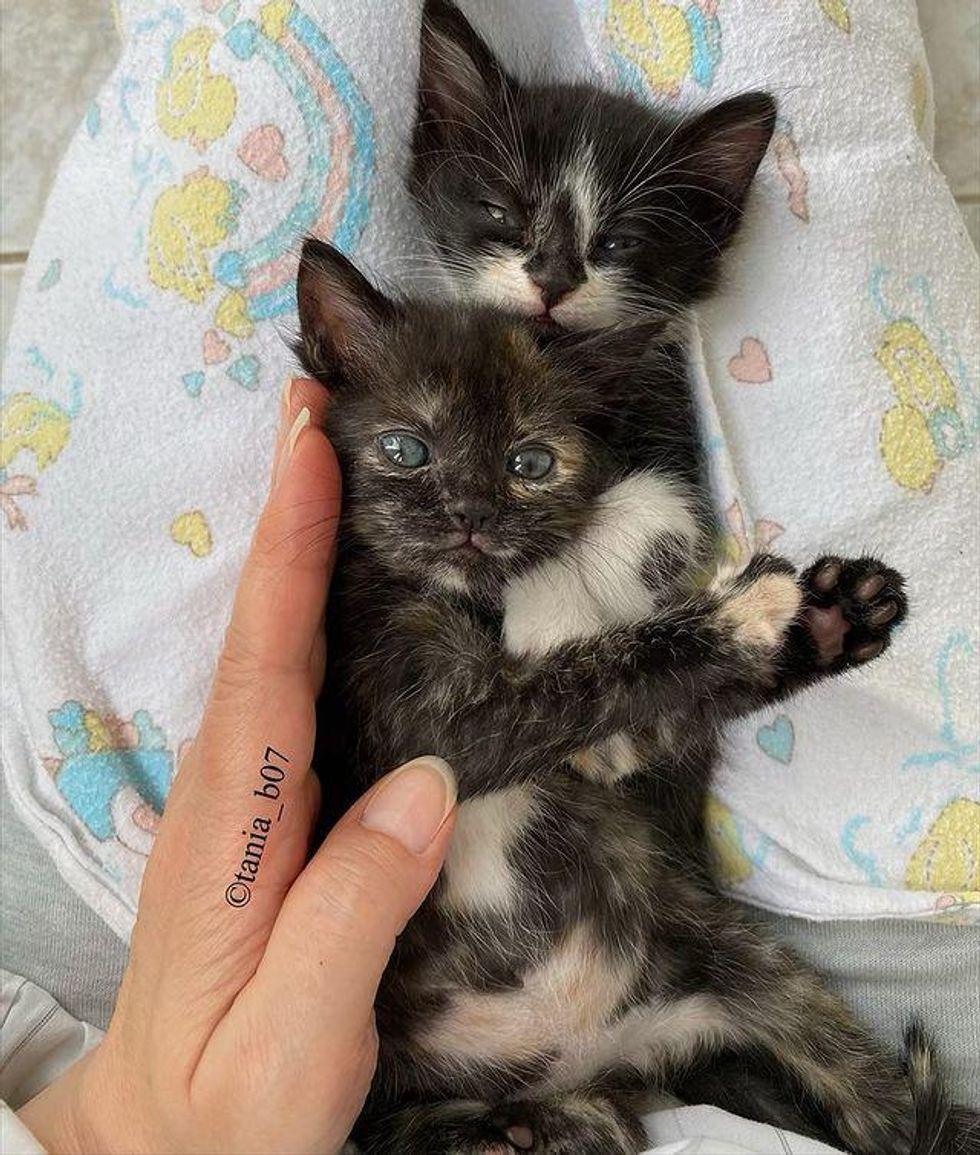 sweet lap kittens
