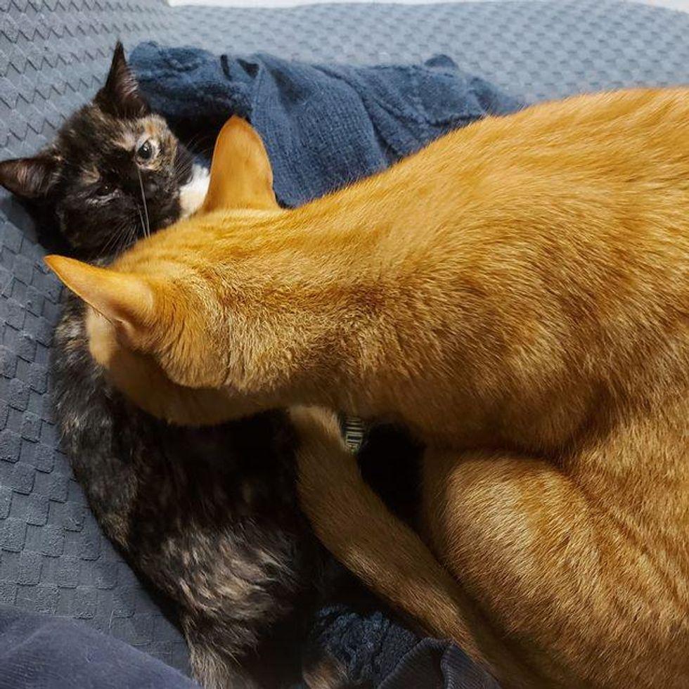orange cat tortie kitten