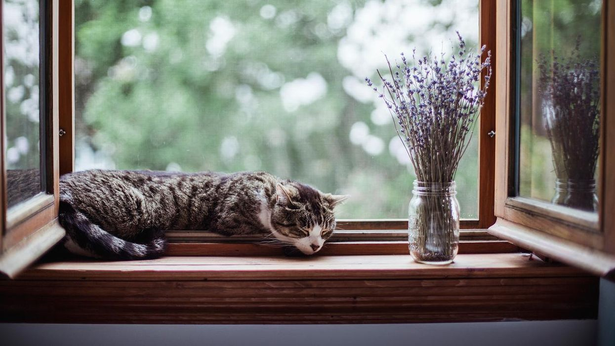 A tabby cat sleeping by an open window with a bouquet of lavender