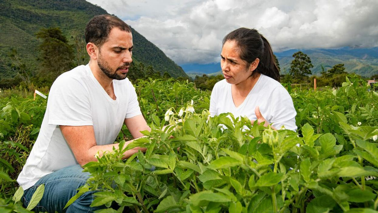 Researchers study blight-resistant potatoes bred from wild relatives.