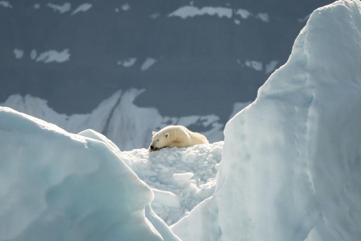 Polar bears are inbreeding as climate change melts away Arctic ice, scientists say