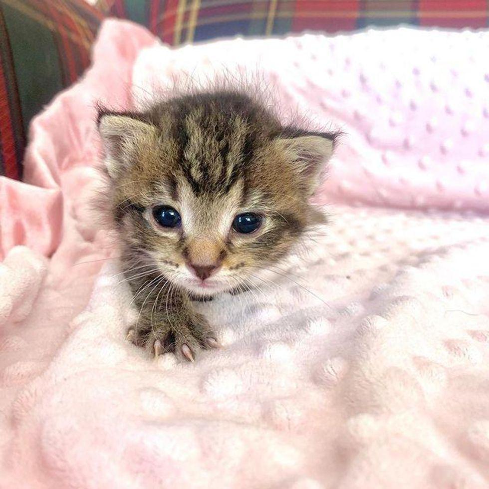adventurous tabby kitten