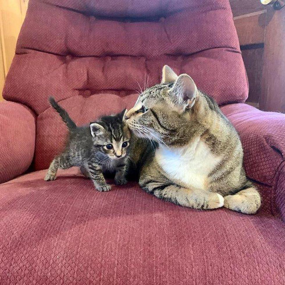 tabby cat kisses kitten