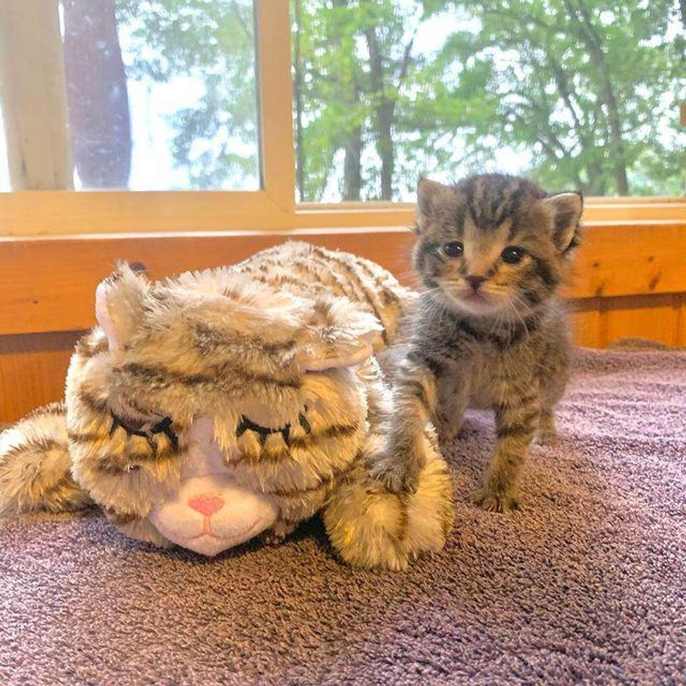 tiny tabby kitten, kitten and toy