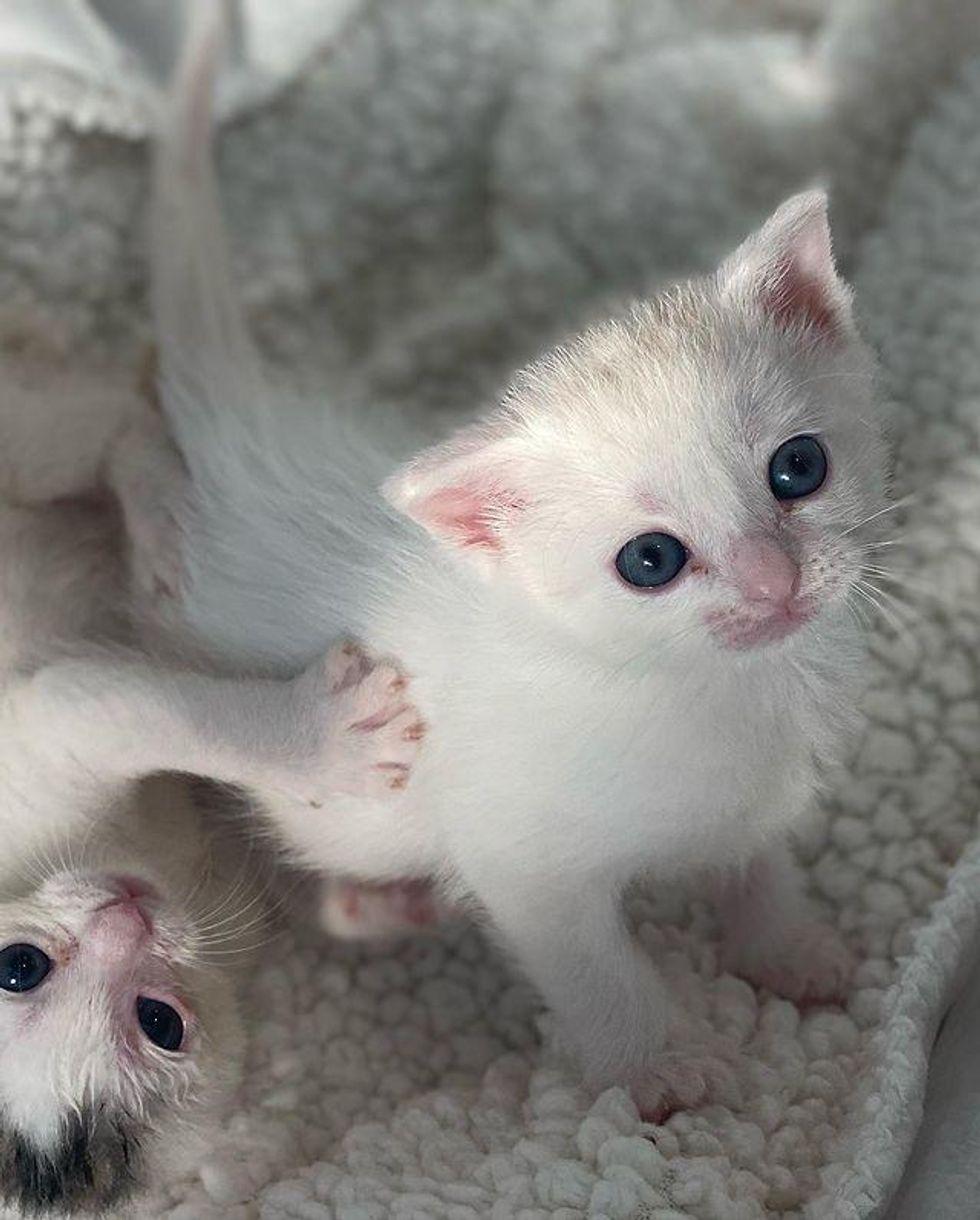 sweet cotton kittens