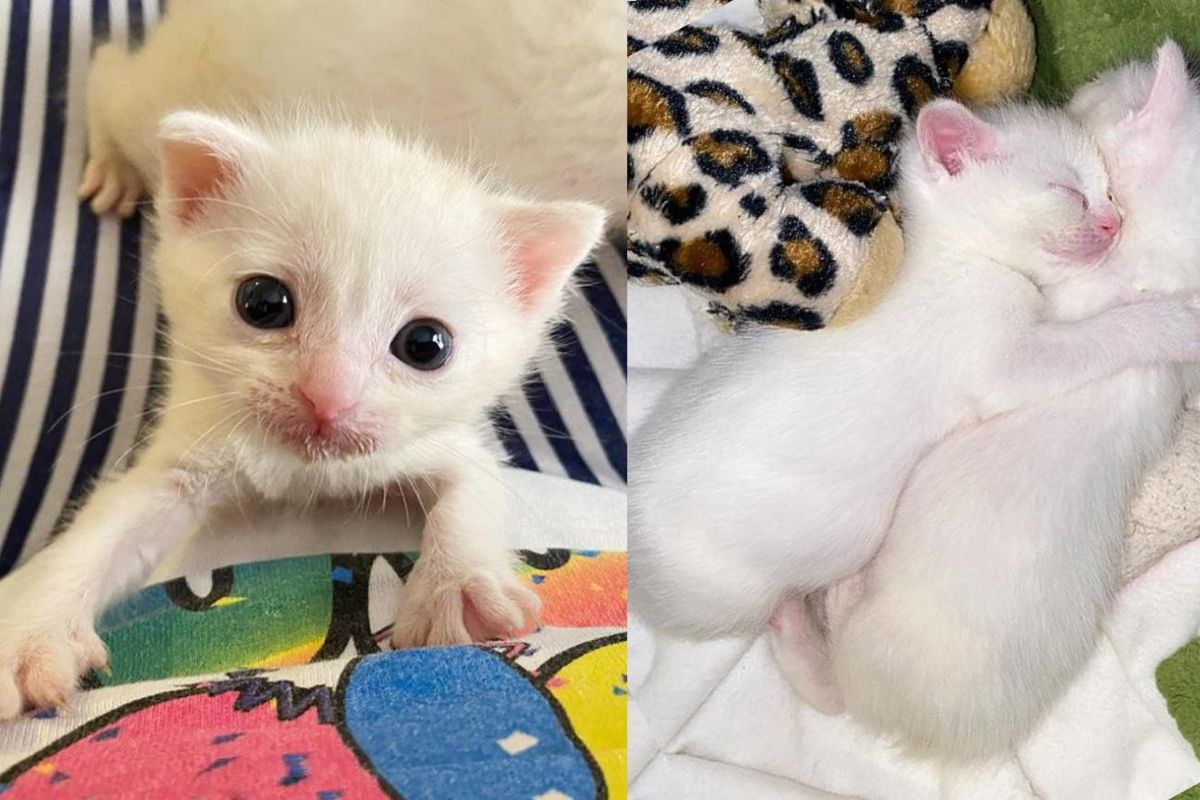 Cotton Kittens Gator Loki and Sylvie Melt Hearts with Their Big Eyes and Sweet Personalities