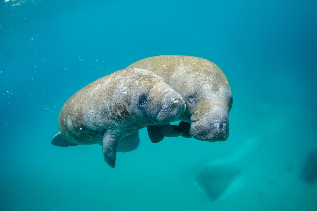 Florida's majestic manatees are starving to death