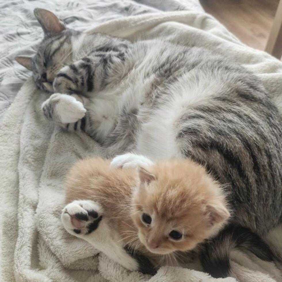 cat cuddles kitten