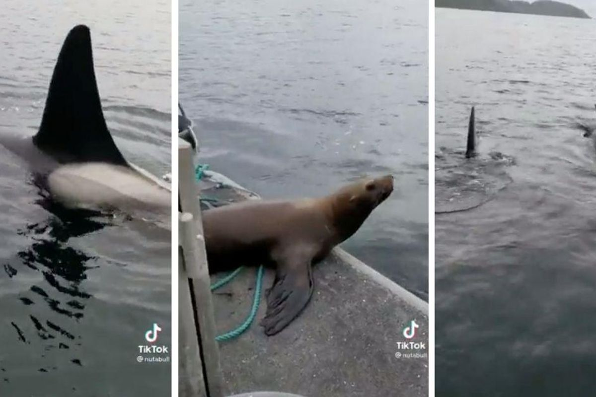 A sea lion jumped on a woman's boat to escape a group of orcas and the footage is wild