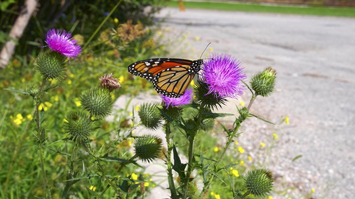 A monarch butterfly on a thistle.