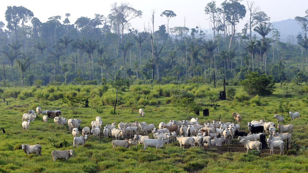 Cattle graze in the Jamanxim National Forest,.