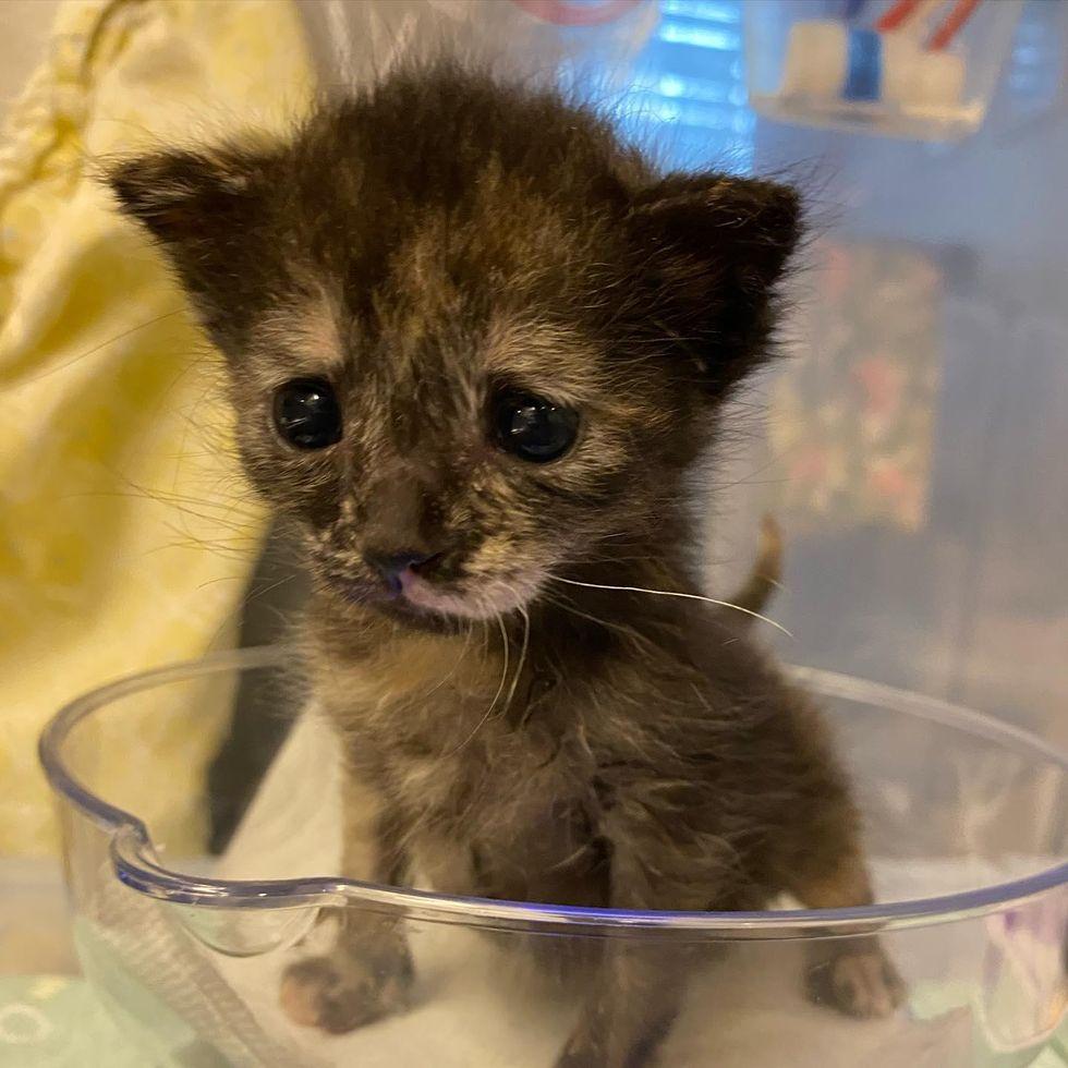 kitten scale weight